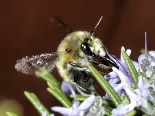Anthophora plumipes - HAPeacock - Leicester Garden - 01 April 2012