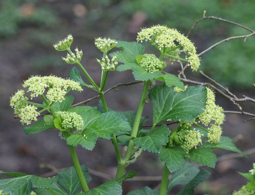 Smyrnium olusatrum - David Nicholls - Burbage Wood - 12 April 2012