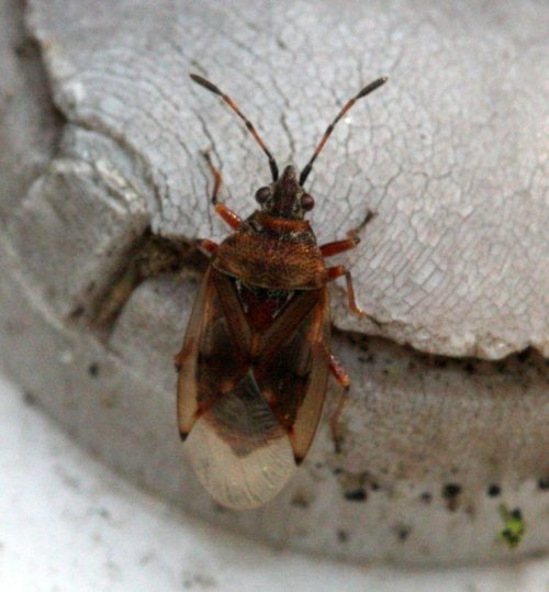 Kleidocerys resedae - David Nicholls - Rutland Water - 22 March 2012