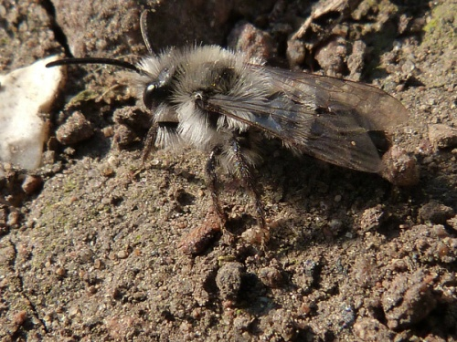 Grey Mining Bee  - Andrena cineraria - Mark Skevington - Croft Hill - 15 April 2012