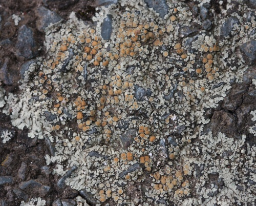 Lecanora muralis - David Nicholls - Ratby, Sacheveral Way - 14 April 2012 - on tarmac
