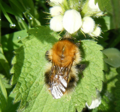 Bombus pascuorum - Graham Calow - Sapcote - 21 April 2012