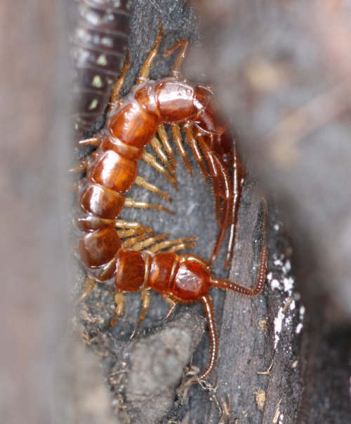 Brown Centipede  - Lithobius forficatus - David Nicholls - New Lount - 28 April 2012 - specimen examined