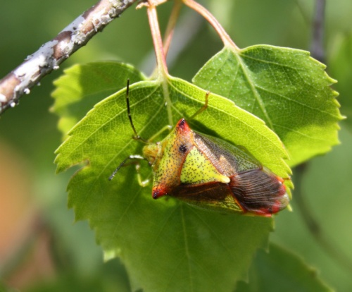 Acanthosoma haemorrhoidale - Barbara Cooper - Long Clawson - 08 May 2012 - On silver birch