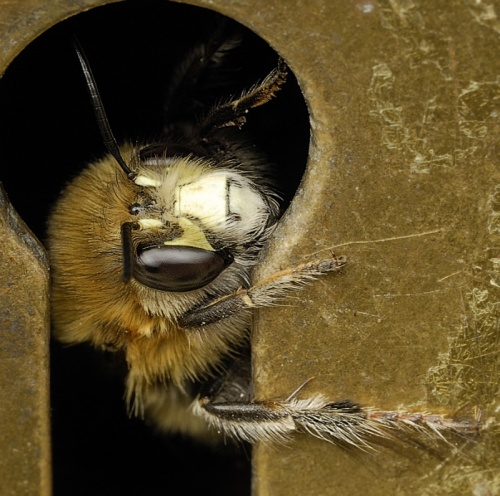 Anthophora plumipes - Barbara Cooper - Long Clawson - 08 April 2012 - In keyhole