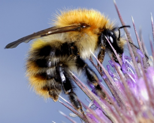 Common Carder Bumblebee  - Bombus pascuorum - Barbara Cooper - Long Clawson - 30 July 2011