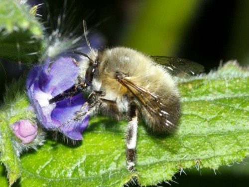 Anthophora plumipes - HAPeacock - Leicester Garden - 30 April 2012