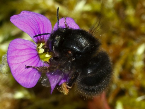 Anthophora plumipes - HAPeacock - Leicester Garden - 08 May 2012