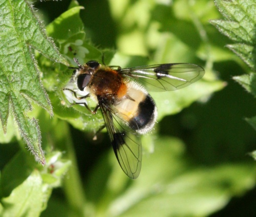 Leucozona lucorum - David Nicholls - 20 Acre Piece - 11 May 2012