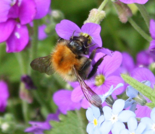 Bombus pascuorum - Barbara Cooper - Long Clawson - 14 May 2012