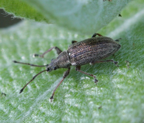 Phyllobius pyri - David Nicholls - 20 Acre Piece - 11 May 2012