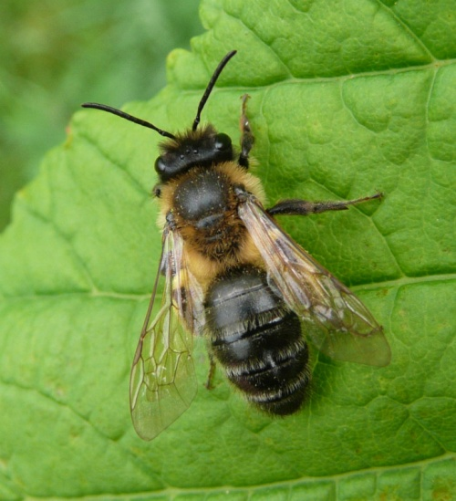 Andrena carantonica - Barbara Cooper - Long Clawson - 16 May 2012