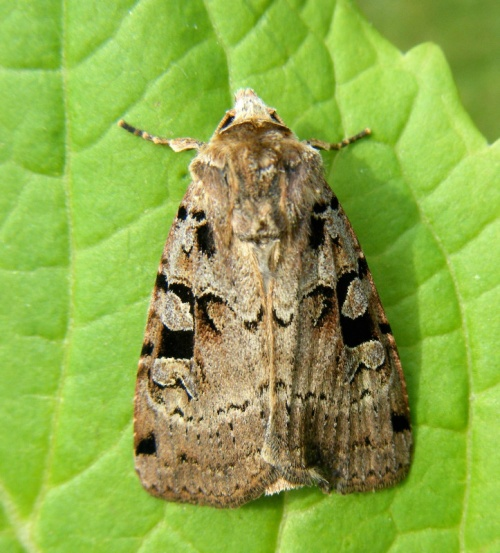 Graham Calow - Sapcote garden1 - 18 May 2012 - hatched from pupa