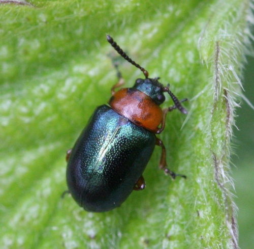 Gastrophysa polygoni - David Nicholls - Ulverscroft - 18 May 2012