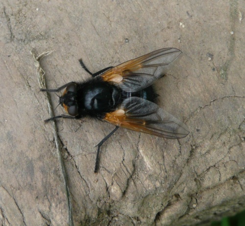 Mesembrina meridiana - Barbara Cooper - Clawson Hill - 21 May 2012