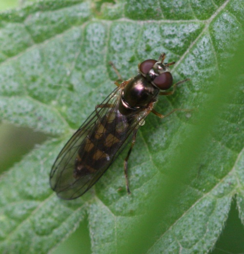 Melanostoma scalare - David Nicholls - Ulverscroft - 18 May 2012