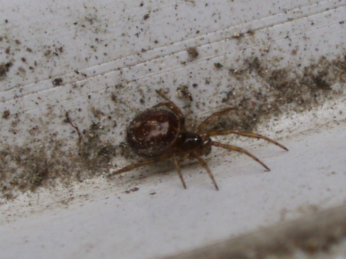 Steatoda bipunctata - Alan Semper - Harby garden - 08 April 2012