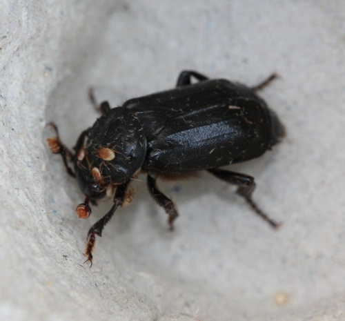 Black Sexton Beetle  - Nicrophorus humator - David Nicholls - Ratby garden - 24 May 2012 - with mites