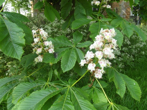 Aesculus hippocastanum - Alan Semper - Harby churchyard - 24 May 2012