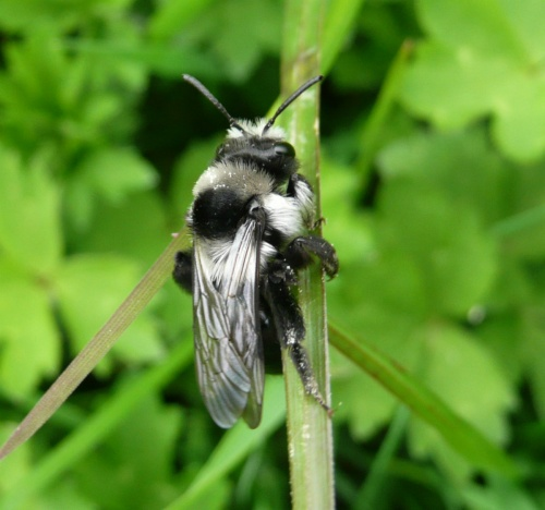 Andrena cineraria - Barbara Cooper - Clawson Hill - 21 May 2012