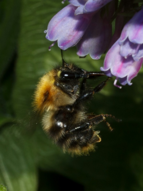Bombus pascuorum - HAPeacock - River Soar - St Mary's Mill - 25 May 2012