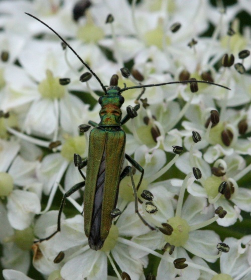 Swollen-thighed Beetle  - Oedemera nobilis - David Nicholls - Ratby - 09 June 2012 - female