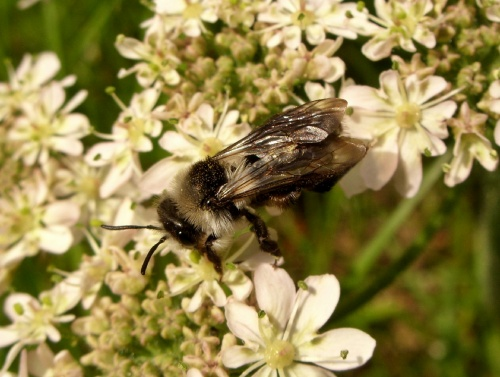 Andrena cineraria - Lostash - Whetstone GCR Footpath - 10 June 2012