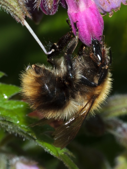 Bombus pascuorum - HAPeacock - The Orchards - 19 June 2012