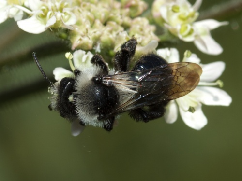 Andrena cineraria - HAPeacock - River Soar - St Marys Mill - 14 June 2012