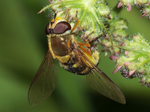 Syrphus ribesii - HAPeacock - River Soar - St Marys Mill - 14 June 2012 - Egg-laying