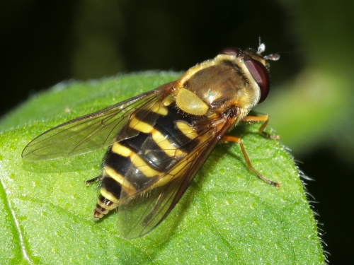 Syrphus ribesii - HAPeacock - River Soar - St Marys Mill - 14 June 2012 - Post egg-laying
