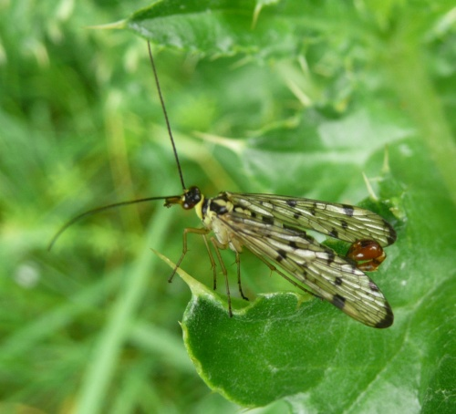 Panorpa germanica - Barbara Cooper - Holwell Nature Reserve - 21 June 2012