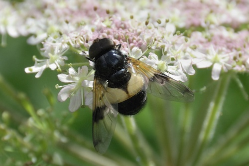 Volucella pellucens - Barbara Cooper - Clawson Hill - 14 June 2012