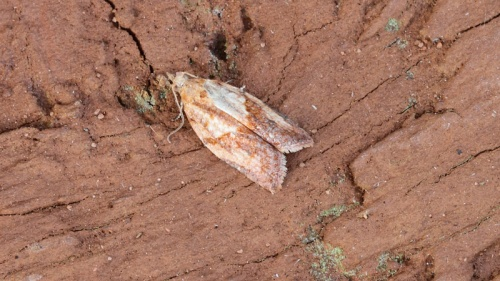 Rod Baker - Wigston Magna - 20 June 2012 - Light Brown Apple Moth