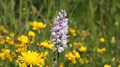 Dactylorhiza fuchsii - Rod Baker - Ketton Quarry - 20 June 2012 - Common Spotted Orchid