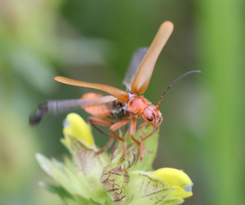 Cantharis livida - David Nicholls - Ratby - 09 June 2012