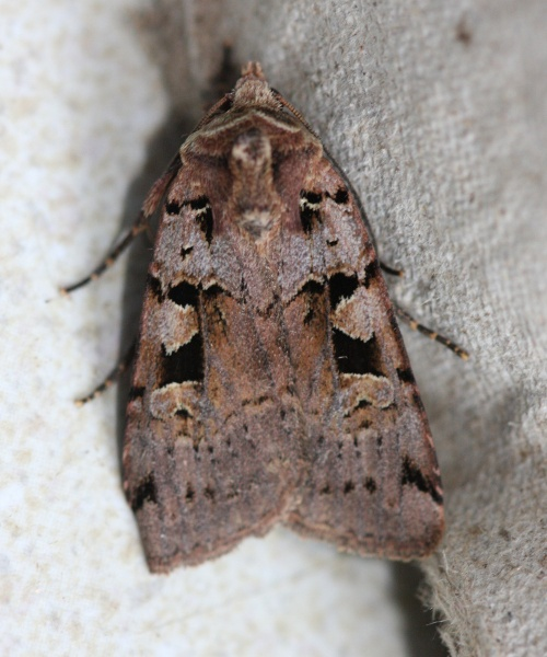 Double Square-Spot  - Xestia triangulum - David Nicholls - Ratby garden - 28 June 2012
