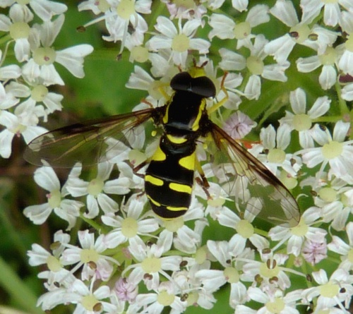 Xanthogramma pedissequum - Graham Calow - Sapcote - 04 July 2012 - male