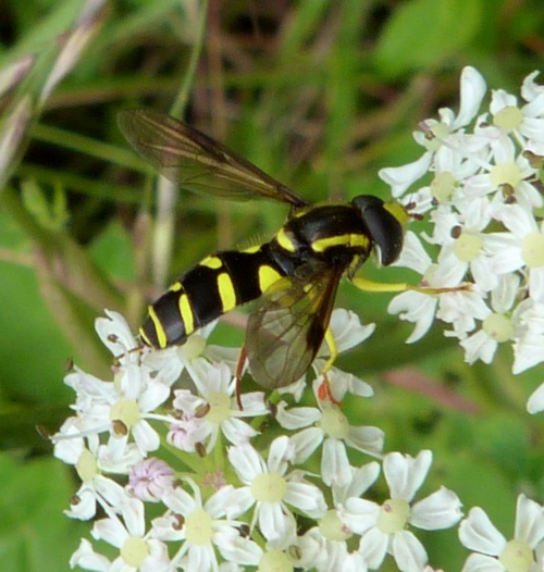 Xanthogramma pedissequum - Graham Calow - Sapcote - 04 July 2012