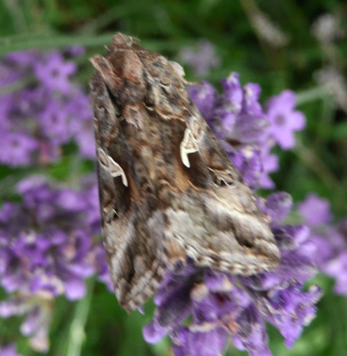Autographa gamma - Barbara Cooper - Long Clawson - 04 July 2012