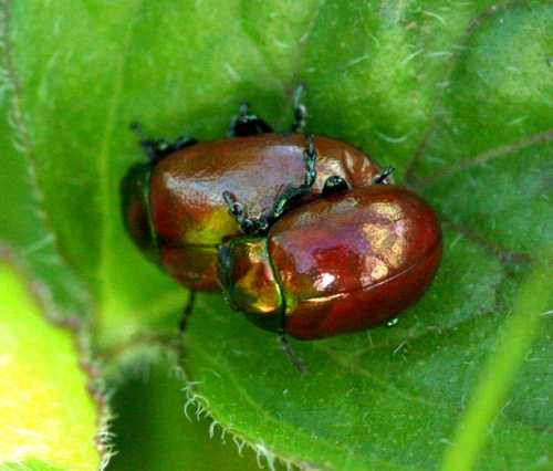 Chrysolina polita - David Nicholls - Lea Meadows - 29 June 2012