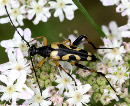 Rutpela maculata - David Nicholls - Martinshaw Wood - 05 July 2012