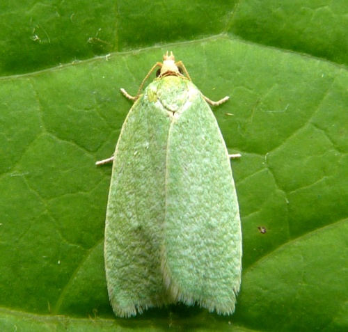 Green Oak Tortrix - Tortrix viridana - Graham Calow - Sapcote garden1 - 05 July 2012