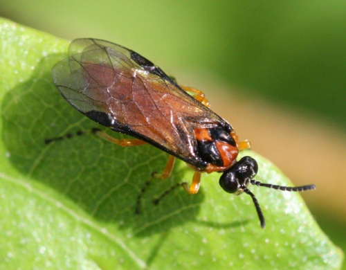 Turnip Sawfly  - Athalia rosae - David Nicholls - Cloud Wood - 07 July 2012