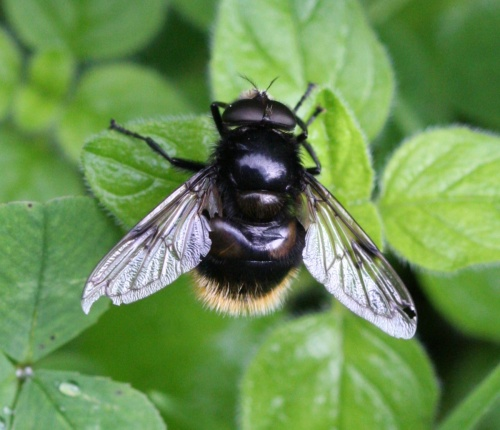 Volucella bombylans - David Nicholls - Cloud Wood - 07 July 2012