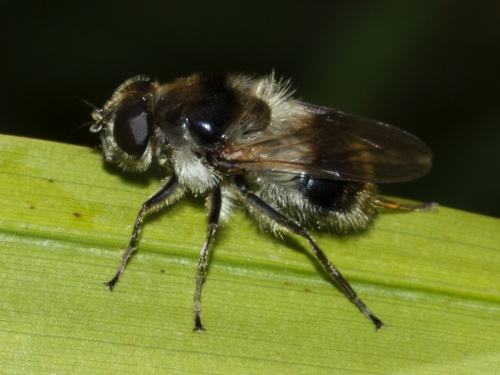 Cheilosia illustrata - HAPeacock - River Soar - St Marys Mill - 12 July 2012