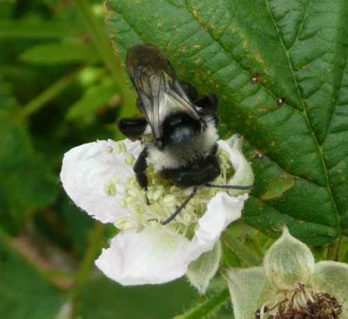 Andrena cineraria - Barbara Cooper - Clawson Hill - 08 July 2012