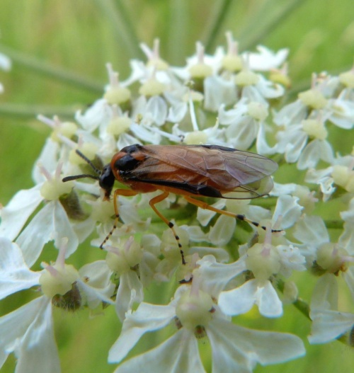 Turnip Sawfly  - Athalia rosae - Graham Calow - Sapcote - 14 July 2012