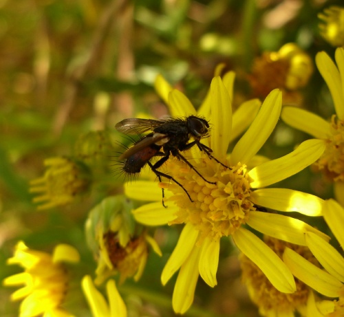 Eriothrix rufomaculata - Lostash - Whetstone GCR Footpath - 22 July 2012