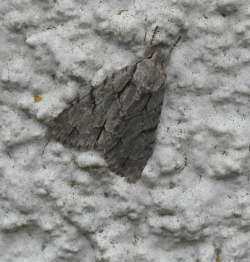 Acronicta psi - Alan Semper - Harby house - 13 August 2012